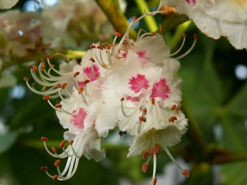 Treatment of Addiction With White Chestnut