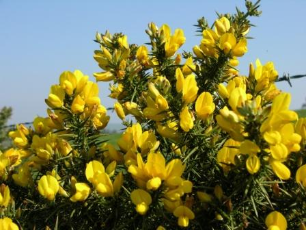 Depression cure Gorse