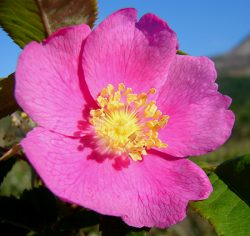 benefits wild rose bach flower remedy rejuvenate positive state