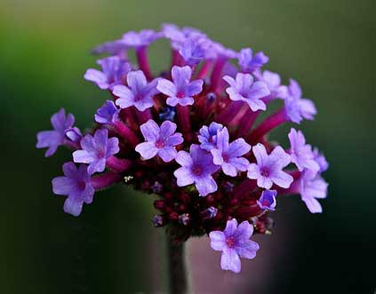bach flower remedy vervain, vervain benefits, vervain uses, vervain symptoms, flower remedy vervain, bach flower vervain, restore balance,